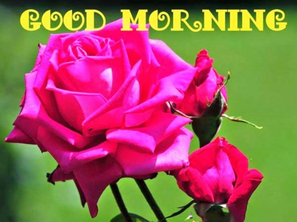 beuitful fresh flower with good morning image