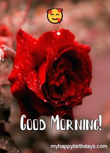 dark red rose good morning pic