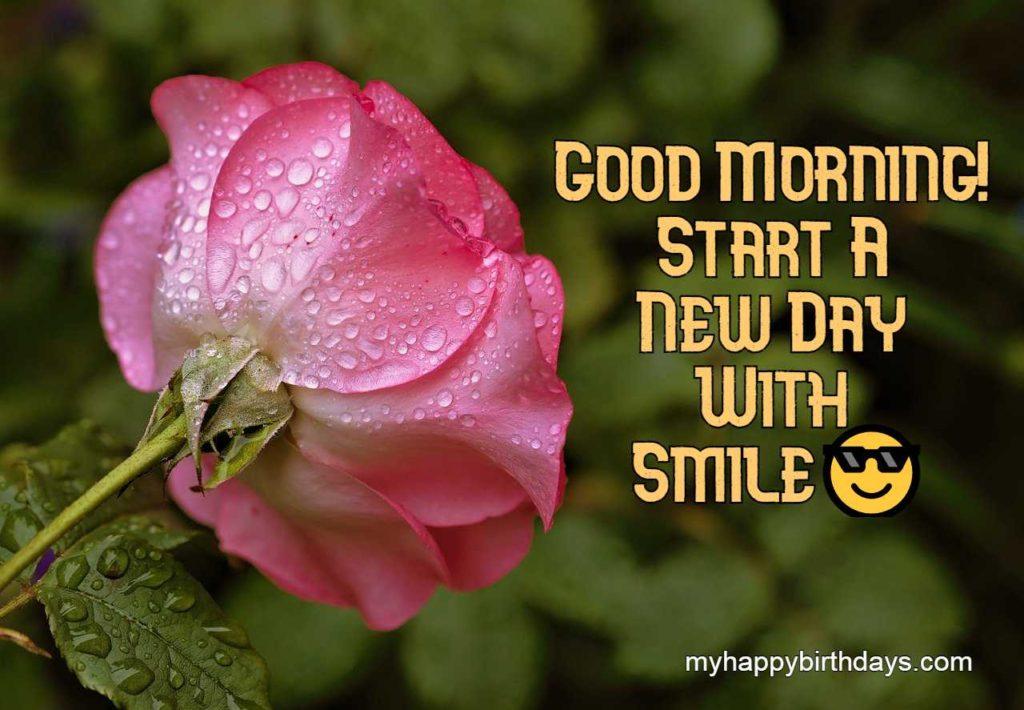 pink rose image good morning
